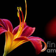 Belladonna Lily Art Print
