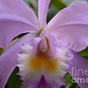 Belle Isle Orchid Art Print