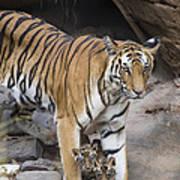 Bengal Tiger And Cubs Bandhavgarh Np Art Print