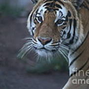 Bengal Tiger Art Print by Brenda Schwartz