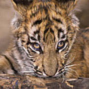 Bengal Tiger Cub And Peacock Feather Endangered Species Wildlife Rescue Art Print