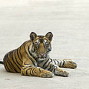 Bengal Tiger Cub On Road Bandhavgarh Np Art Print