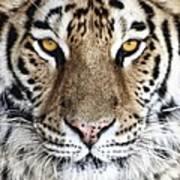 Bengal Tiger Eyes Art Print
