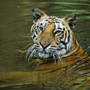Bengal Tiger In Water Native To India Art Print