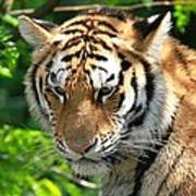 Bengal Tiger Portrait Art Print