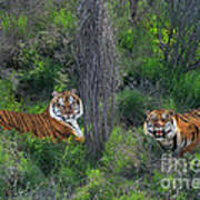 Bengal Tigers On Grassy Hillside Endangered Species Wildlife Rescue Art Print