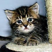 Benny The Kitten Resting Art Print