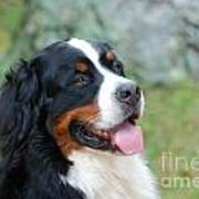 Bernese Mountain Dog Portrait Art Print