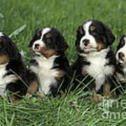 Bernese Mountain Puppies Art Print