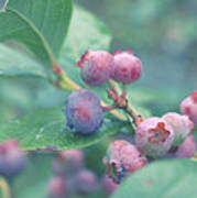 Berries For You Art Print