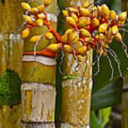 Berries On Bamboo Hawaii Art Print
