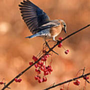 Berry Picking Bluebird Art Print