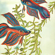 Betta Splendens Art Print