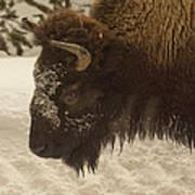 Beware Of The Bison Art Print