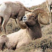 Big Bighorn Ram Art Print