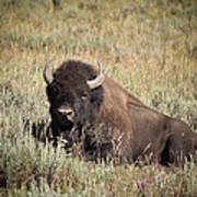 Big Buff - Bison - Buffalo - Yellowstone National Park - Wyoming Art Print