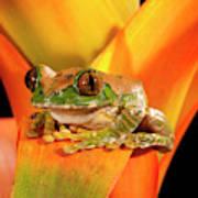 Big Eye Treefrog, Leptopelis Art Print