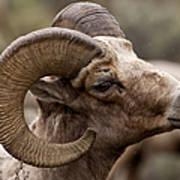 Big Horn Ram   #1503 Art Print