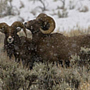 Big Horn Rams In Snow   #2484 Art Print