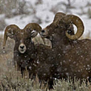 Big Horn Rams In The Snow   #2493 Art Print
