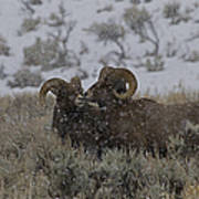 Big Horn Rams In The Snow   #2523 Art Print
