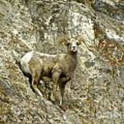 Big Horn Sheep On Mountain Art Print