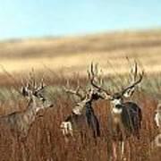 Big Mule Deer Bucks Art Print