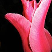 Big Vibrant Pink Tulip Against  On Black Art Print