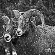 Bighorn Brothers In Grey Colorized Art Print