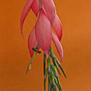Bilbergia  Windii Blossom Art Print by Heiko Koehrer-Wagner