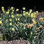 Biltmore Daffodils Art Print