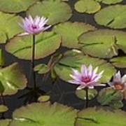 Biltmore Water Lillies Art Print