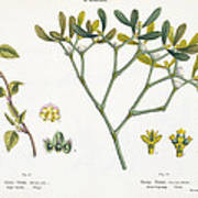 Birch And Mistletoe Art Print