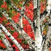 Birch Eclipsing Maple Art Print