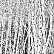 Birch Forest Art Print