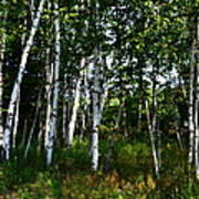 Birch Grove In The Sunlight Art Print