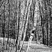 Birch Sentinels Art Print