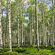 Birch Tree Grove In Summer Art Print