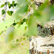 Birch Tree. The Soul Of Russian Nature Art Print