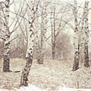 Birch Trees In The Snow. Winter Poems Art Print