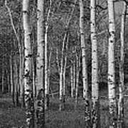 Birch Trees No.0148 Art Print