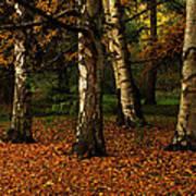 Birches Art Print