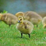 Bird - Baby Goose -leader Of The Pack Art Print