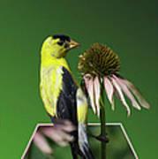 Bird Eating Seeds Art Print