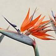 Bird Of Paradise Art Print by Denice Breaux