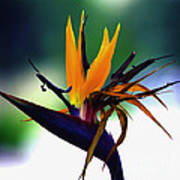 Bird Of Paradise Flower - Square Art Print