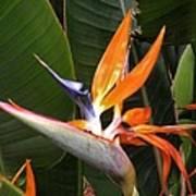 Bird Of Paradise Flowers Art Print