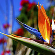 Bird Of Paradise Open For All To See Art Print