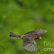 Bird Soaring With Food In Beak Art Print