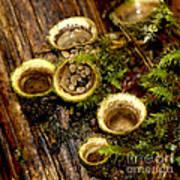Birds Nest Fungi Art Print
